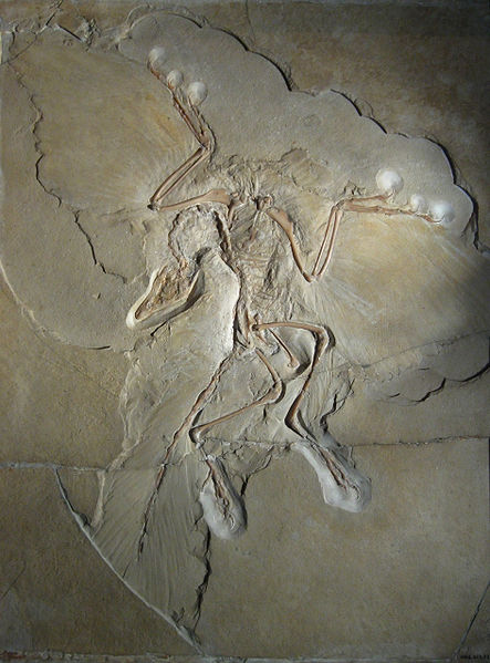 443px-archaeopteryx_lithographica_berlin_specimen