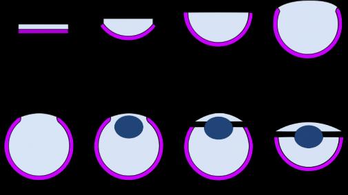 800px-modele_eye_evolution_nilsson_pelger_1994svg