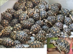 star-turtle