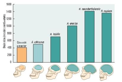 হোমিনিডের মস্তিষ্কের আকার বৃদ্ধি