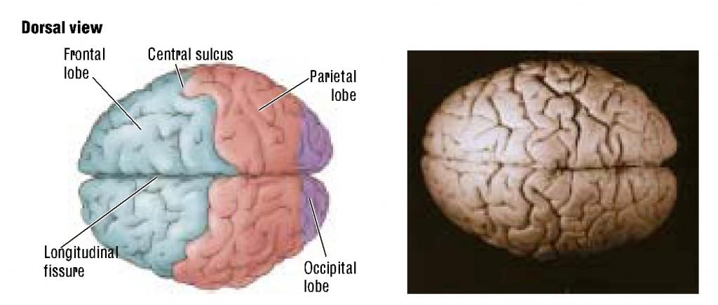 brain-11